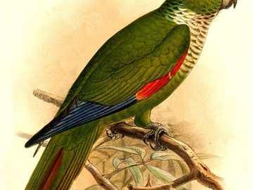 Geschilde roodharige - Geschilde roodharige [4] (Pyrrhura melanura) - een vogelsoort uit de papegaaienfamilie (Psittacidae)