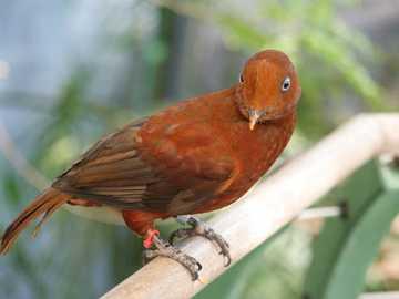 Andes Scalikurek - Andes Scalikurek [4] (Rupicola peruvianus) - een soort middelgrote vogel uit de korenbloemfamilie (C