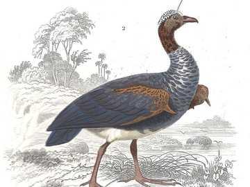 Gehoornde schreeuwer - Gehoornde schreeuwer [7] (Anhima cornuta) - een soort grote vogel uit de wing screamer familie (Anhi