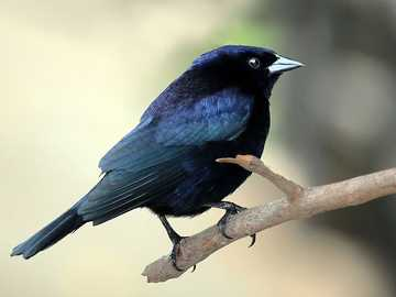 Starzyk azul escuro - A romã starzyk (Molothrus bonariensis) - uma espécie de ave de pequeno ou médio porte da família