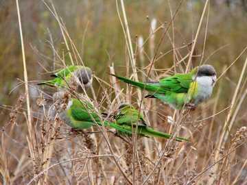 Kegel met donkere kop - Kegel met donkere kop [4], Aymara met donkere kop [5] (Psilopsiagon aymara) - een soort kleine vogel