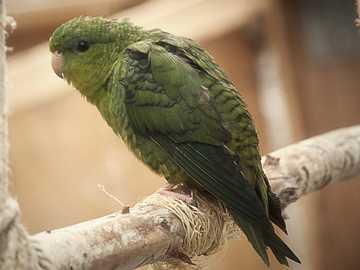 Geribbelde kegel - Geribbelde kegel [3] (Bolborhynchus lineola) - een soort kleine vogel van de papegaaienfamilie (Psit