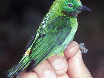 Zwartkeel Emerald Tanagra - Smaragdgroene tanagra [3], zwartkeelregenboog [4] (Chlorochrysa calliparaea) - een soort kleine voge