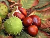 castanhas - quebrando castanhas nas folhas de outono