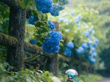 Ganska hortensiablommor - Miku beundrar vackra hortensiablommor när han går