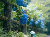 Pretty hydrangea flowers - Miku admires pretty hydrangea flowers while walking