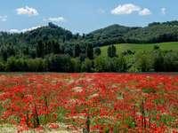 lit de fleurs rouges - Comme j'aime les coquelicots. Vallée de la Niconne, Mercatale Cortona (AR), Italie