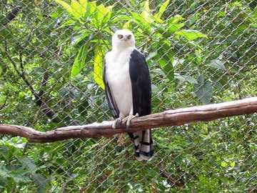 Vithårig krigare - Vithårig krigare (Spizaetus melanoleucus) - en art av stor rovfågel från familjen Accipitridae. D