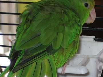 Groenhoofdige mus - De sperwer [4] (Forpus passerinus) - een soort kleine vogel uit de papegaaienfamilie (Psittacidae).