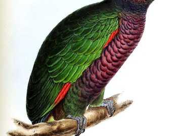 Amazonka cesarska - Amazonka cesarska[3] (Amazona imperialis) – gatunek średniej wielkości ptaka z rodziny papugowat