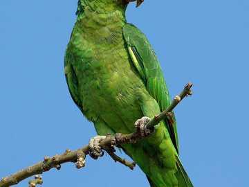 Den dvärghuvudade Amazonas - Den rödhåriga Amazonas [3] (Amazona viridigenalis) - en art av medelstor fågel från papegojafami