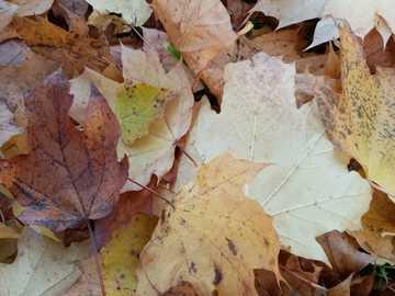 Φύλλα του φθινοπώρου - Τα φύλλα του φθινοπώρου είναι το πιο διάσημο σημάδι το�