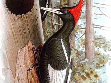 Pica-pau imperial - Pica-pau imperial [4] (Campephilus imperialis) - uma espécie de ave grande da família do pica-pau