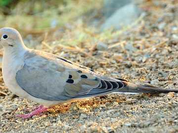 Pomba de cauda longa - Pombo de cauda longa [3], pombo carolíngio [4], pombo carolíngio [5] (Zenaida macroura) - uma esp�