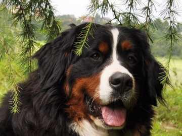 pies berneński - m........................