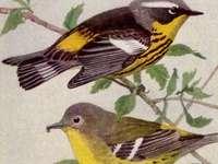 Magnolia sångare - Magnolia sångare (Setophaga magnolia) - en fågelart från warblersfamiljen (Parulidae).