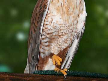 Кралски мишелов - Кралски мишелов (Buteo regalis) - вид птица от семейство Accipitrid
