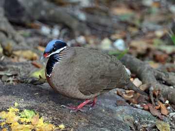 Modrogłowik - Modrogłowik [4] (Starnoenas cyanocephala) - uma espécie de ave de tamanho médio da família colum