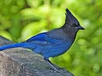 Black-headed blue jay