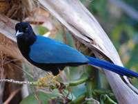 Yucatan Lärche - Yucatan-Larven [4] (Cyanocorax yucatanicus) - eine mittelgroße Vogelart aus der Familie der Corvide