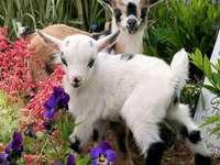 Two little goats - Two little goats, flowers