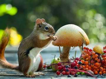 esquilo - Esquilo, cogumelos, frutas vermelhas, comida