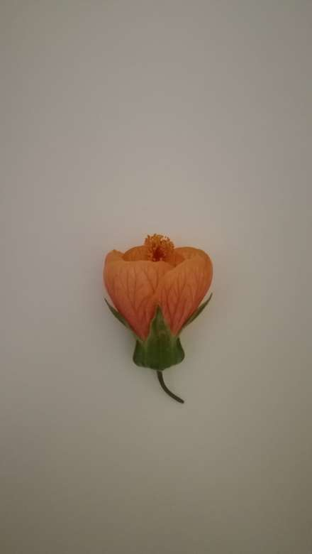 Oranje bel - Hier in het leven heeft mijn buurman uit Gonnet enkele bloemen van dezelfde kleur en dezelfde kleur (3×7)