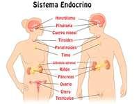 Endokrina systemet
