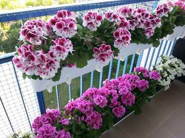 λουλούδια σε γλάστρες στο μπαλκόνι - Μ ....................