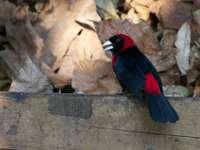 Maskierter Tapiranga - Maskierter Tapiranga [3] (Ramphocelus sanguinolentus) - eine Art kleiner Singvögel aus der Familie