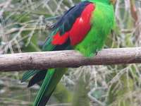 Red-winged leprechaun - Red-winged red-winged parrot [4], red-winged parrot [5] (Aprosmictus erythropterus) - a species of m