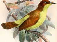 Yellow-bellied plane - Yellow-bellied plane (Loboparadisea sericea) - a species of bird from the Cnemophilidae family. The