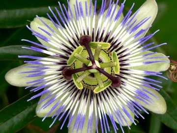 λουλούδι του πάθους - ένα λουλούδι με πράσινα πέταλα και μπλε μαλλιά