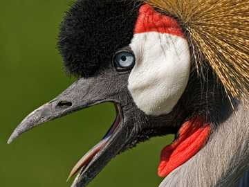 pássaro - uganda - m ....................