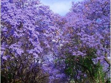 Caminho roxo - Belos jacarandás em flor