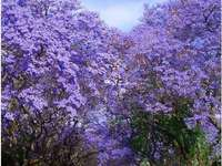 Purple path - Beautiful jacaranda trees in bloom