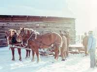 vier mannen bij twee bruine paarden - Door paarden getrokken slee tijdens een strenge winter.