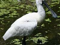 Royal spoonbill - The royal spoonbill [3] (Platalea regia) - a species of large, wading bird from the ibis family (Thr