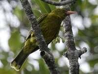 Groenachtige wielewaal - Groene wielewaal (Oriolus flavocinctus) - een vogelsoort uit de Oriolidae-familie.