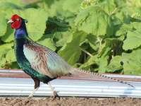 Φασιανός διαφοροποιημένος - The Northern Pheasant [3] (Phasianus versicolor) - ένα είδος μεγάλου πουλιού �