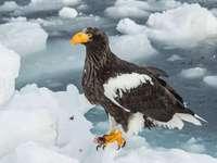Φαλακρός αετός - Φαλακρός αετός [4] (Haliaeetus pelagicus) - ένα είδος αρπακτικού πο