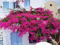malaga- potted flowers