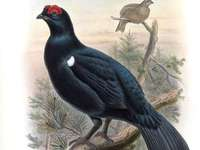 Καυκάσιος grouse - Ο καυκάσιος μαύρος αγριόγαλος [3] (Lyrurus mlokosiewiczi) - ένα είδ�