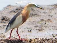 The heron turned out - Great heron [4] (Ardeola speciosa) - a species of wading bird from the heron family (Ardeidae).