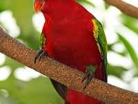 Θορυβώδης κυρία - Αντάρτης [4] (Lorius garrulus) - ένα είδος μεσαίου μεγέθους πουλ�