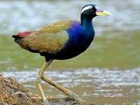 Browhawk - Longcream (Metopidius indicus) - ένα είδος πουλιού στην οικογένεια το