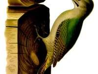 Πράσινος-γκρι δρυοκολάπτης - Ο πράσινος-γκρι δρυοκολάπτης (Picus canus) - ένα είδος μεσαίο