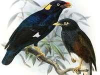 Ceylon Griechisch - Ceylon gwarek [3] (Gracula ptilogenys) - eine mittelgroße Vogelart aus der Familie der Sturnidae, d