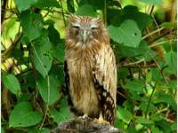 Barefoot ketupa - Ketupa bosonoga [3] (Bubo zeylonensis) - a species of large bird from the family Tawny Owl (Strigida
