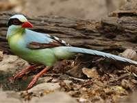 Κίτα σμαράγδι - Emerald kitta [4] (Cissa chinensis) - ένα είδος μεσαίου μεγέθους πουλιο